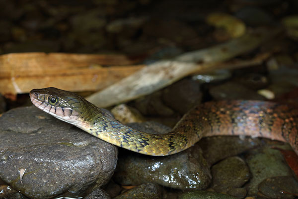 Red-sided Keelback Water Snake (Xenochrophis trianguligerus)