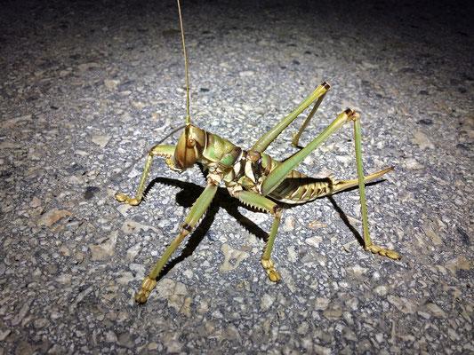 Predatory Bush Cricket (Saga ephippigera)