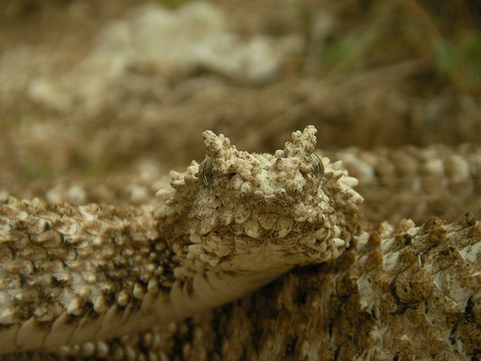 Spider-tailed Horned Viper (Pseudocerastes urarachnoides) showing the knob like scales on the side of the head.