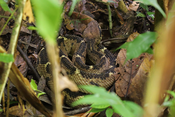 Central American Bushmaster (Lachesis stenophrys)