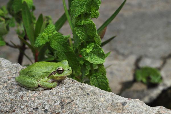 Tyrrhenian Tree Frogs (Hyla sarda)