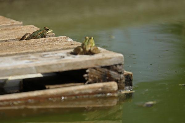 Iberian Water Frogs (Pelophylax perezi).