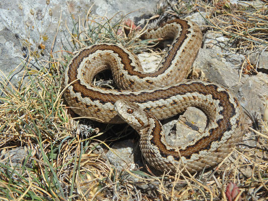 Greek Meadow Viper (Vipera graeca), Pindos Mountains, Greece, August 2017