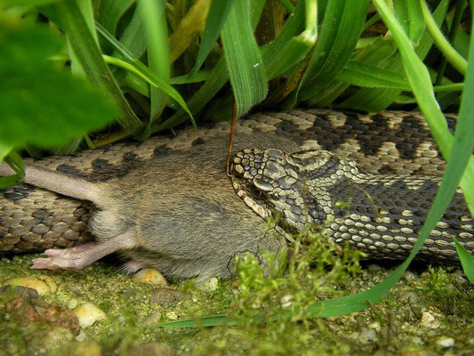 Adder (Vipera berus) eating a mouse, Twente, the Netherlands, August 2009