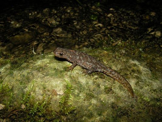 Alpine Newt (Ichthyosaura alpestris) juvenile along a stream