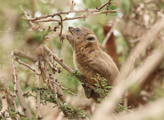 Rock Hyrax (Procavia capensis) calling for its mother.