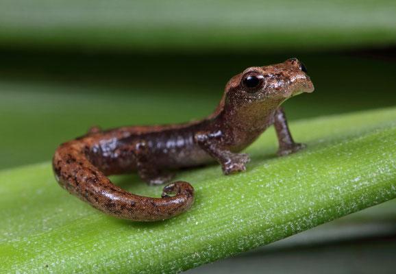 Northern Banana Salamander (Bolitoglossa rufescens)
