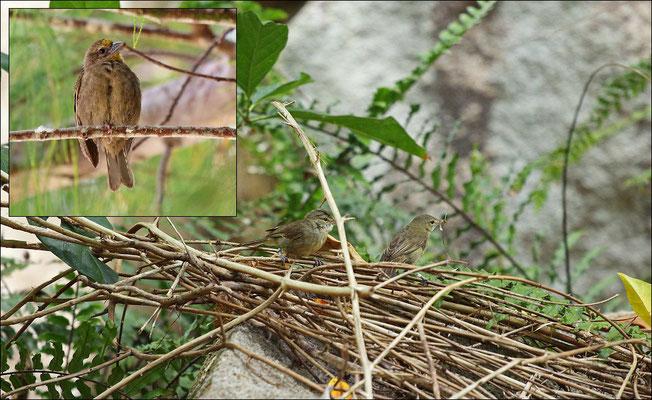 Two endemic landbirds; Seychelles Warbler (Acrocephalus sechellensis) and Seychelles Fody (Foudia sechellarum)