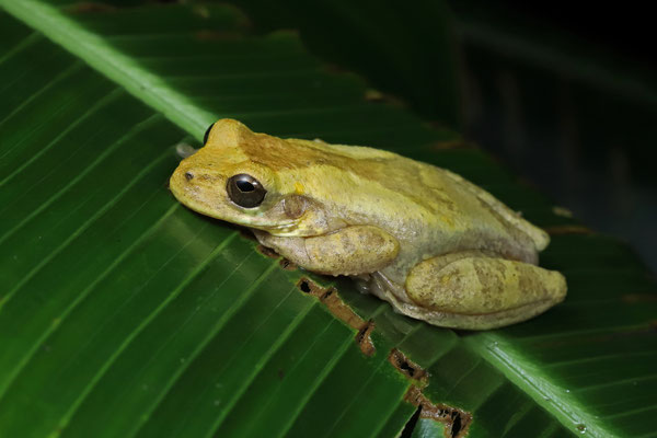 Meadow Tree Frog (Isthmohyla pseudopuma) female