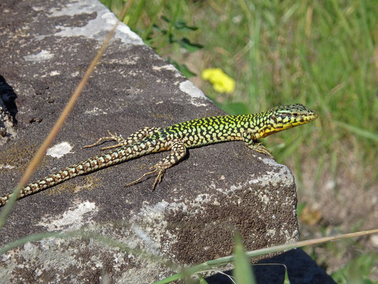 Maltese Wall Lizard (Podarcis filfolensis) beautiful male in breeding colours.