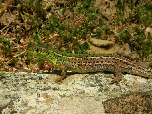 Balkan Wall Lizard (Podarcis tauricus), Prespa, Greece, May 2013