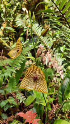 Stunning orchid (Telipogon costaricense) #2 © Sander Schagen