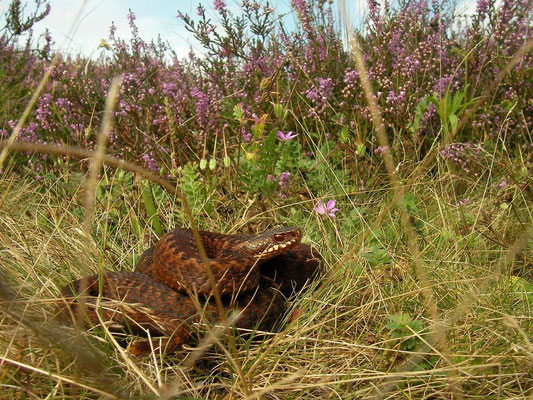 Adder (Vipera berus), Veluwe, the Netherlands, August 2012