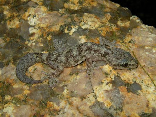 European Leaf-toed Gecko (Euleptes europaea), Sardinia, Italy, April 2011