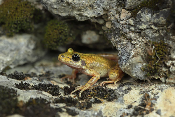 Majorcan Midwife Toad (Alytes muletensis) male emerging from a crack.
