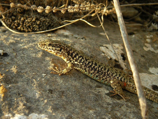 Erhard's Wall Lizard (Podarcis erhardii), Ohrid, Macedonia, July 2012