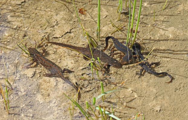 Alpine Newts (Ichthyosaura alpestris) courtship
