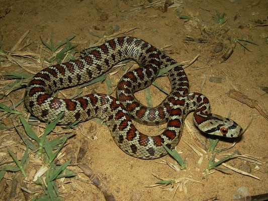 Leopard Snake (Zamenis situla) juvenile, Peloponnese, Greece, October 2012