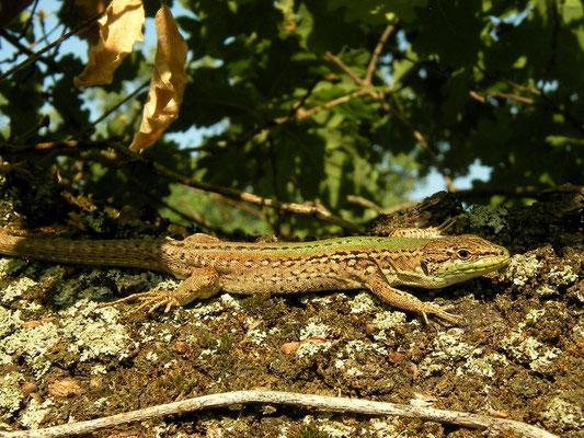 Italian Wall Lizard (Podarcis siculus), Dragonje, Slovenia, July 2010