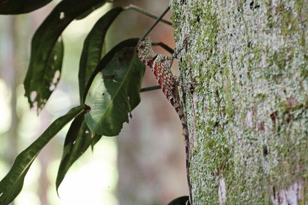 Sumatra Forest Dragon (Gonocephalus beyschlagi)