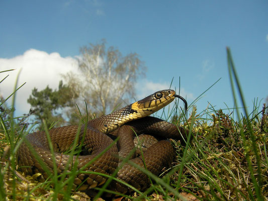 Grass Snake (Natrix helvetica helvetica), Veluwe, The Netherlands, April 2011