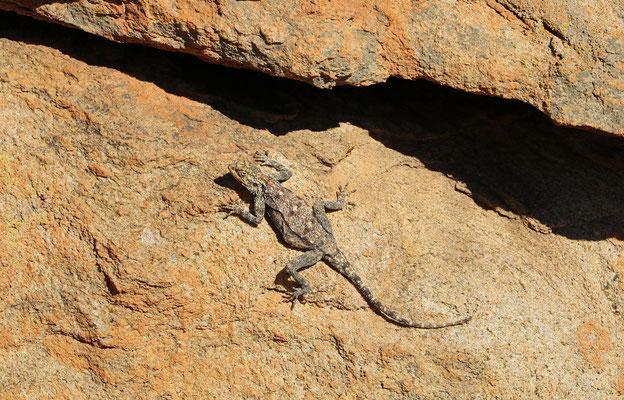 Southern Rock Agama (Agama atra)