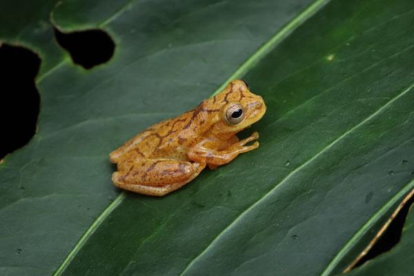 Veined Tree Frog (Dendropsophus phlebodes)