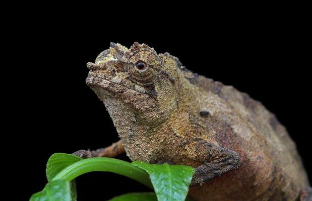 Boulenger's Pygmy Chameleon (Rhampholeon boulengeri)