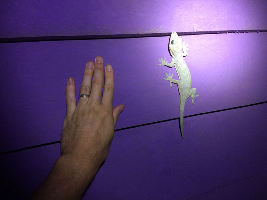 Picture showing how big my hands are compared to a Large Forest Gecko (Gekko smithii).