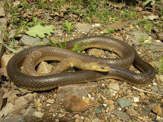 Aesculapian Snake (Zamenis longissimus), La Brenne, France, June 2011