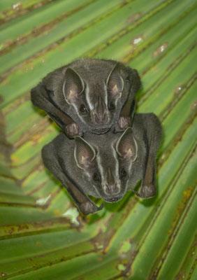 Tent-making Bat (Uroderma bilobatum) © Jasper Boldingh