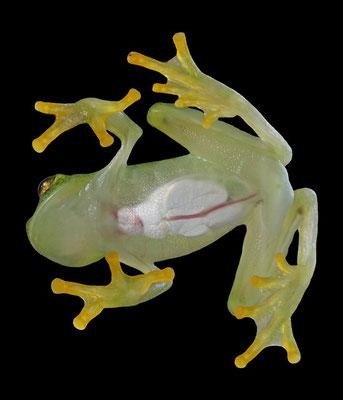 Northern Glass Frog (Hyalinobatrachium viridissimum)) displaying the transparant belly.