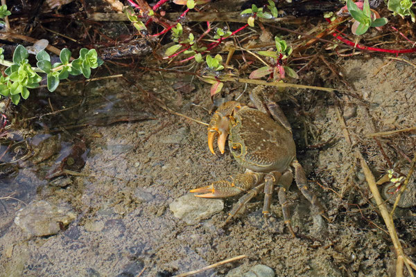 Levant Freshwater Crabs (Potamon potamios)