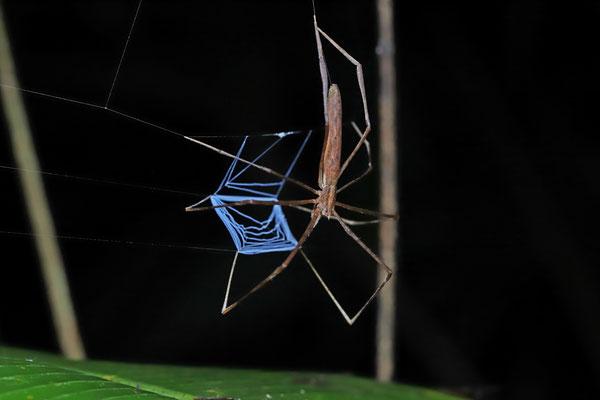 Net-casting Spider (Deinopis spec.)