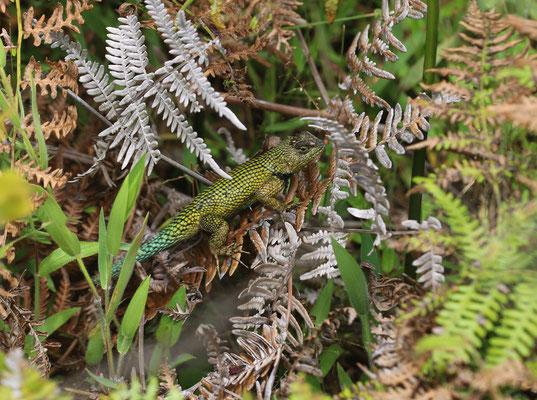 Green Spiny Lizard (Sceloporus malachiticus) male © Jelmer Groen
