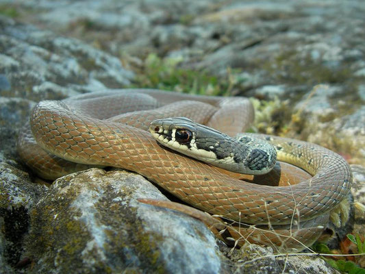 Dahl's Whip Snake (Platyceps najadum), Dion, Greece, April 2010