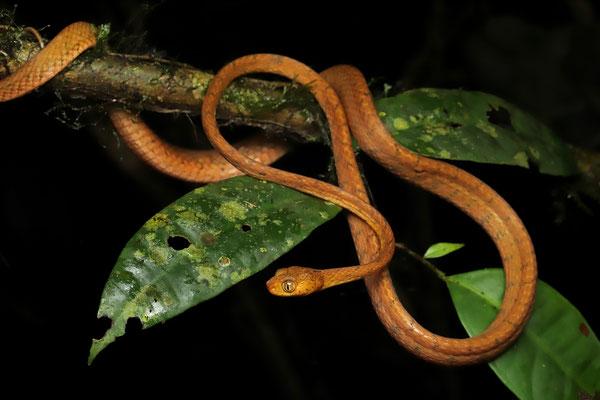 Yellow Blunt-headed Vine Snake (Imantodes inornatus)