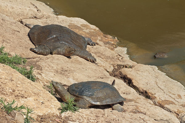 African Softshell Turtles (Trionyx triunguis) basking communally.