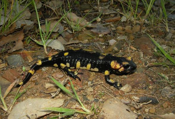 Fire Salamander (Salamandra salamandra crespoi x gallaica) juvenile