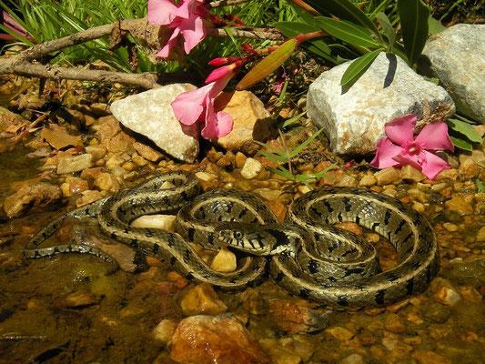 Grass Snake (Natrix natrix persa), Samos, Greece, July 2015