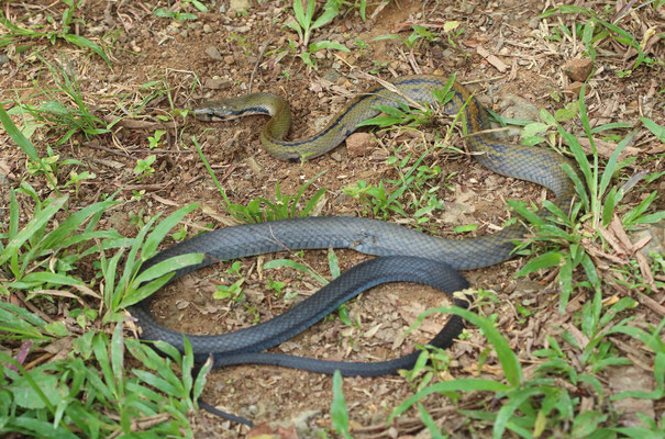 A horrible animal to photograph: Yellow-striped Rat Snake (Coelognathus flavolineatus)