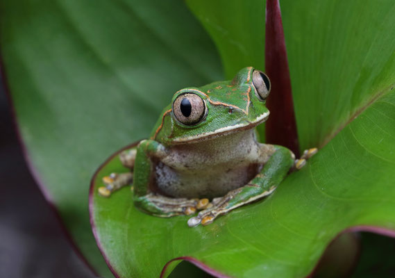 Christy's Tree Frog (Leptopelis christyi)