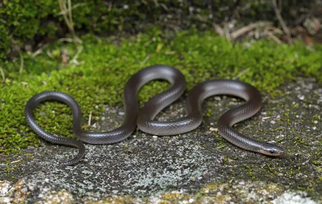 Pacific Longtail Snake (Enulius flavitorques)