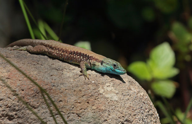 Hatay Lizard (Phoenicolacerta laevis) male in breeding colours.