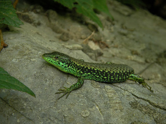 Green-bellied Lizard (Darevskia chlorogaster) male