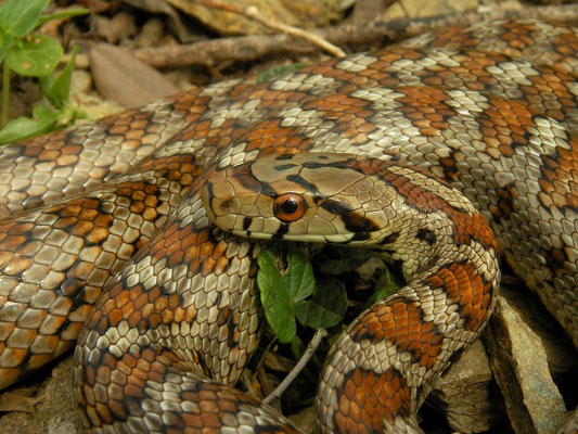 Leopard Snake (Zamenis situla) close-up