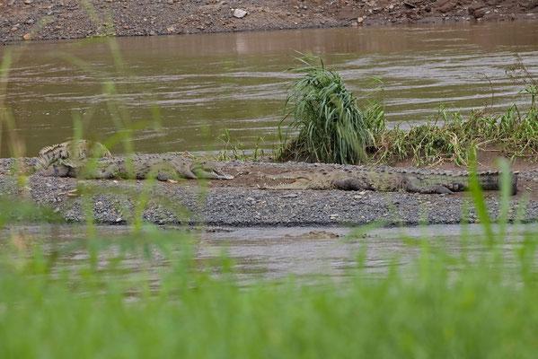 American Crocodiles (Crocodylus acutus)