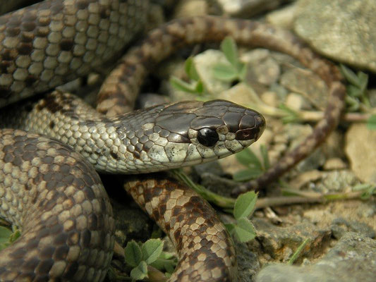 Dwarf Snake (Eirenis modestus) close-up