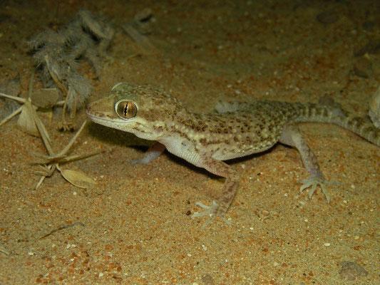 Baluch Ground Gecko (Bunopus tuberculatus)