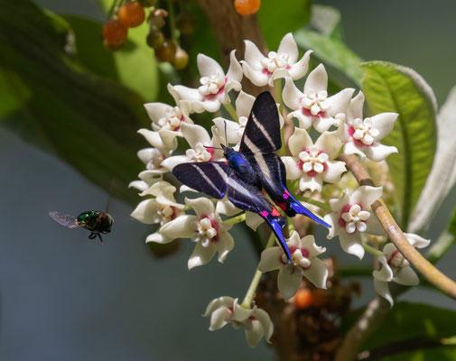 Metalmark Butterfly (Rhetus arcius) © Jasper Boldingh